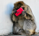 Even Monkeys Can't Keep Their Hands Off Nokia Lumias in Helsinki